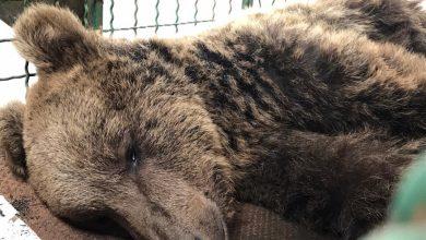 تصویر آخرین وضعیت خرس قهوهای البرز که نمیتوانست راه برود