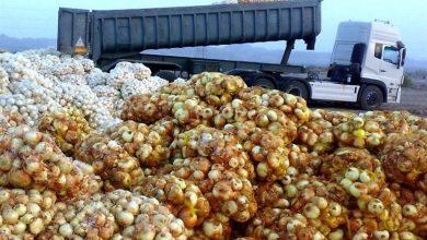 تصویر گزارشی از وضعیت امروز پیازکاران هرمزگان؛ سرکوب تولیدات کشاورزی هرمزگان